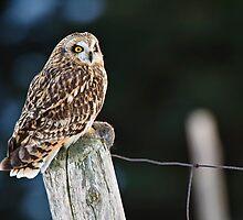 Short Eared Owl  by Michael Cummings