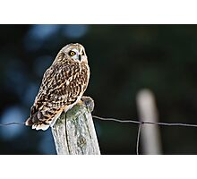 Short Eared Owl  Photographic Print