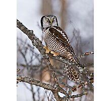 Northern Hawk Owl on branch Photographic Print