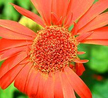 Orange Daisy by BengLim
