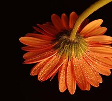 Orange Gerbera by terrylazar
