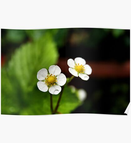 Strawberry Plant Flowers Poster