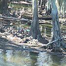 swamp cypress by Airbrushr  Rick Shores