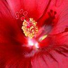 Red Hibiscus by Scott Mitchell