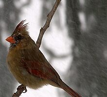Female Cardinal by Gaby Swanson  Photography