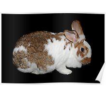 California Giant Bunny Poster