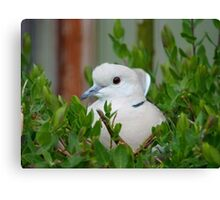 Yes... This Is The Incubation Branch!! - African Collard Dove - NZ Canvas Print