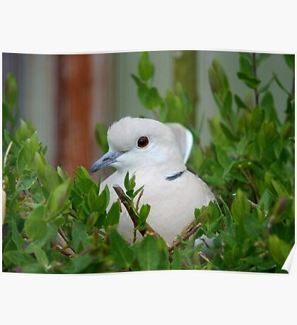Yes... This Is The Incubation Branch!! - African Collard Dove - NZ Poster