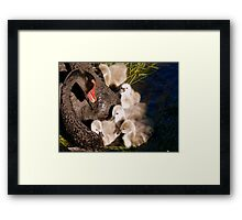 I'm Listening Little Lilly - Black Swans - Cygnets - NZ Framed Print