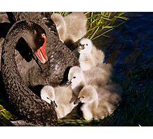 I'm Listening Little Lilly - Black Swans - Cygnets - NZ Photographic Print
