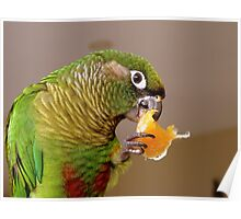 Pure Delish - Echo - Maroon-Bellied Conure - NZ Poster