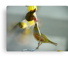 Great... Nectar From A Teat!!! - Silver-Eyes - NZ Canvas Print
