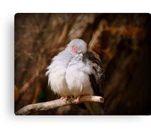 I'ts Snooze Time - Diamond Dove - NZ Canvas Print