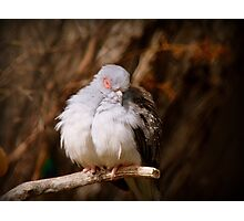 I'ts Snooze Time - Diamond Dove - NZ Photographic Print