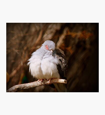 I'ts Snooze Time - Diamond Dove - NZ Photographic Print