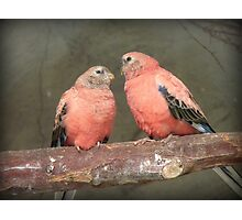 Our Adoration Speaks Volumes - Bourke Parrots - NZ Photographic Print