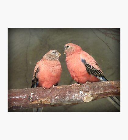 Our Adoration Speaks Volumes - Bourke Parrots - NZ Photographic Print