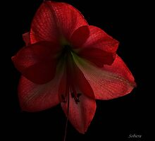 Amaryllis by Rosemary Sobiera