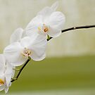 "Phalaenopsis ""Brother White Windian"" by Michael Cummings"