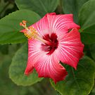 HIBISCUS by TomBaumker