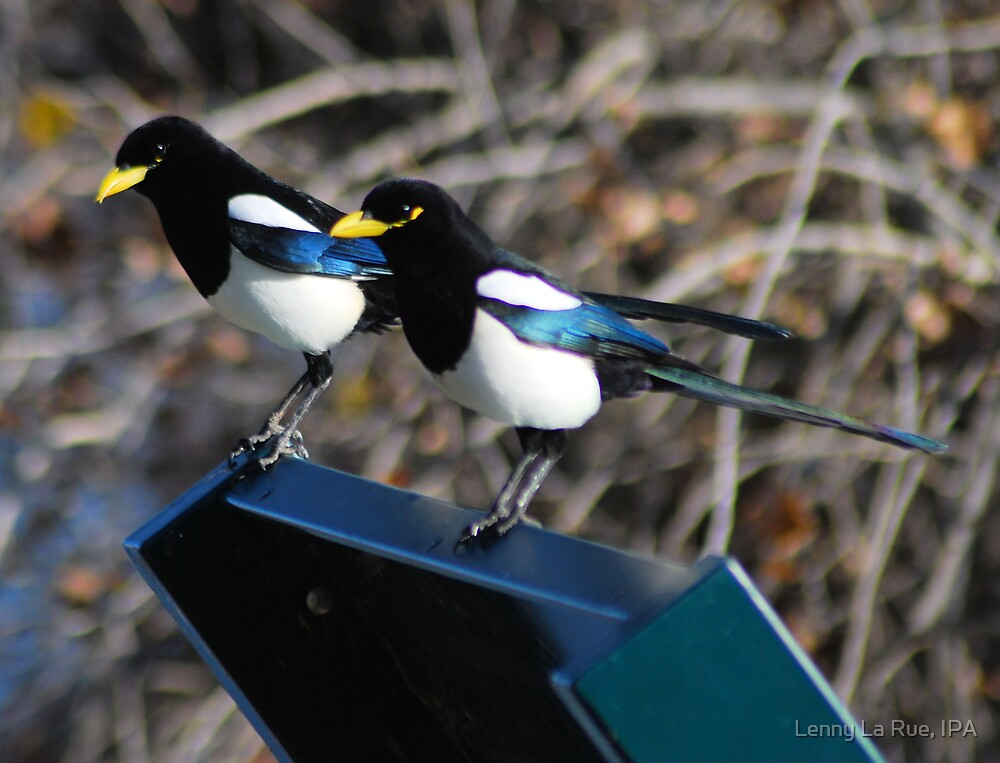 the two magpie greeters by Lenny La Rue, IPA