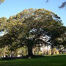 Morton Bay Fig by oiseau