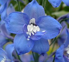 Blue Delphinium II by shane22