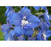 Blue Delphinium II Photographic Print