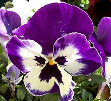 Pansy by daffodil