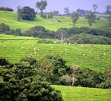 Tea picking-Mulanje Malawi by clement