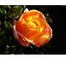 Sunlit Rose Photographic Print