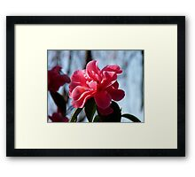 Nature Painted Her Pink - Camellias - NZ Framed Print