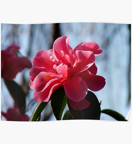 Nature Painted Her Pink - Camellias - NZ Poster