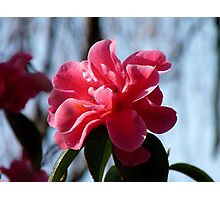 Nature Painted Her Pink - Camellias - NZ Photographic Print