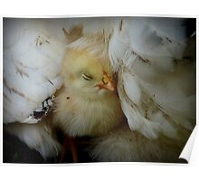 I Love My Feather Bed!! - Sussex Chick - NZ Poster
