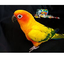 Who Spilt The Beans? - Sun Conure - NZ Photographic Print