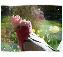 I Just Love Spring... Galah - NZ Poster