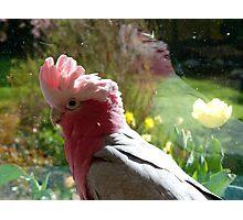 I Just Love Spring... Galah - NZ Photographic Print
