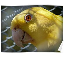 Am I Beautiful Or What!!! - Yellow-Headded Amazon - NZ Poster