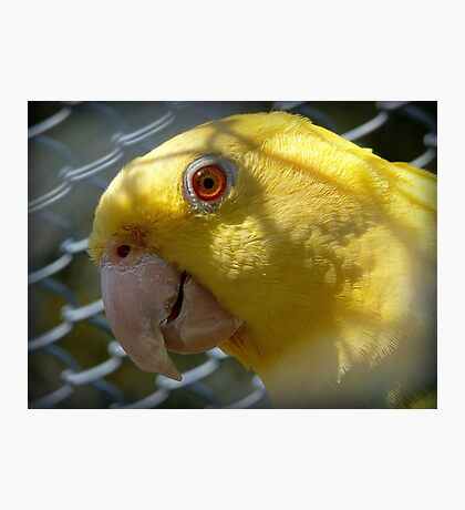 Am I Beautiful Or What!!! - Yellow-Headded Amazon - NZ Photographic Print