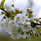 Pear Blossoms - NZ by AndreaEL