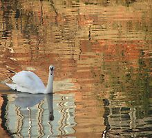 Swan on River Aire by Cleburnus