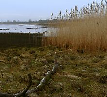 Kingoodie reed beds by Douglas Robertson