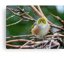 Aww...Don't Be Sad... We Will Be Back - Silver-Eye - NZ Canvas Print