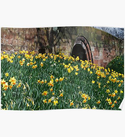 daffodils under the arches Poster