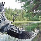 Great Blue Heron by Peter Stratton