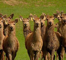 All Eyes Forward!! - Deer - NZ by AndreaEL