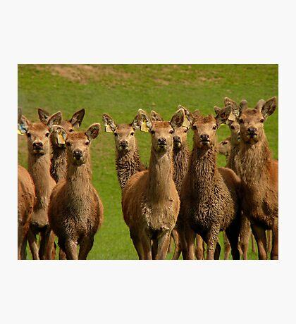 All Eyes Forward!! - Deer - NZ Photographic Print
