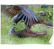 Do You Give Up Yet!!! - Kaka Parrot - Stewart Island Poster
