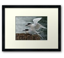 It's Our Tern To Mate - White-Fronted Terns - NZ Framed Print